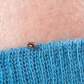 Zecken krabbeln gern auf der Suche nach Hautpartien an der Kleidung entlang, Foto: Pfizer/www.zecken.de