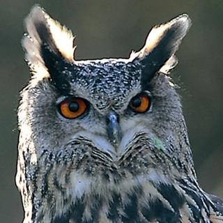 """Uhu (Bubo bubo) - Kennzeichen: größte heimische Eule, etwa 60 cm groß, orangefarbene Augen, Federohren, kurzer Schnabel, Brust stark gefleckt. Im Flug: Flügel breit und abgerundet, Spannweite bis zu 175 cm. Rufe: Männchen: dumpfes """"buho"""", Weibchen: etwas helleres """"u-hu"""". Besonderheiten: Nachtaktiv, Lebenserwartung ca. 20 Jahre. Lebensraum: abwechslungsreiche Landschaften mit offenen und bewaldeten Flächen. Brut an Felsen, am Boden oder in Bäumen. Tagsüber ruhen sie in Bäumen oder Felsverstecken. Foto: Dietmar Nill."""