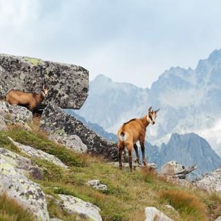 Die Natur live erleben und bewusst wahrnehmen: Wilde Gämse am Berg