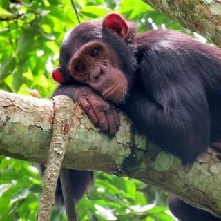 Der Schutz des Bulindi-Schimpansen in Uganda ist eines der Projekte, Foto: Matt McLennan