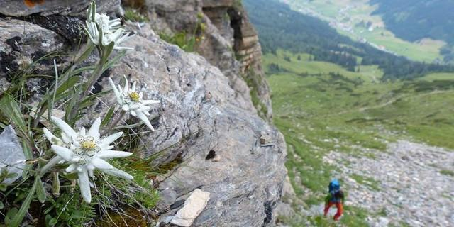 Wer genau hinschaut, kann am Wegrand auch mal eine Alpenvereinsblume entdecken. Foto: Stefan Herbke