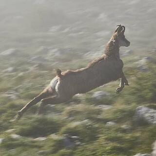 Nur keine Panik: Im Nebel erschrecken sich die Gämsen, die es hier in Mengen gibt. Foto: Stefan Neuhauser