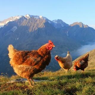 Huhn vor Berg, Foto: Team Olperer Hütte