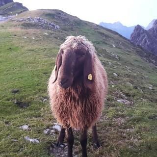Steht ein Schaf auf nem Berg... Foto: Team Nördlinger Hütte
