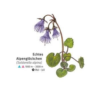 Echtes Alpenglöckchen - © DAV