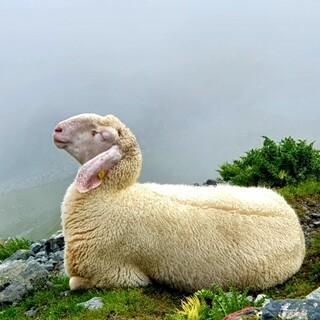 Ein wirklich sehr entspanntes Schaf, Foto: Neue Regensburger Hütte