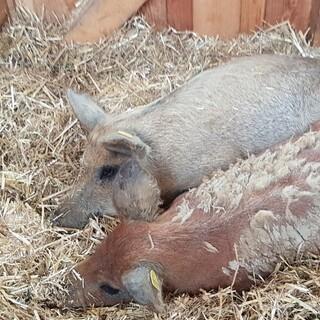 Sauwohl fühlen sich die Schweine auf dem Friesenberghaus Foto: Team Friesenberghaus