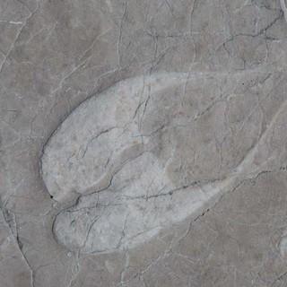 """Totes Gebirge: Die Kuhtrittmuscheln sind das """"Leitfossil"""" des Dachsteinkalks, aus dem auch das Tote Gebirge gebaut ist. Foto: Iris Kürschner"""