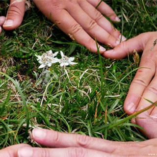 Hände schützen Edelweiß, Bild: JDAV/christoph Hummel